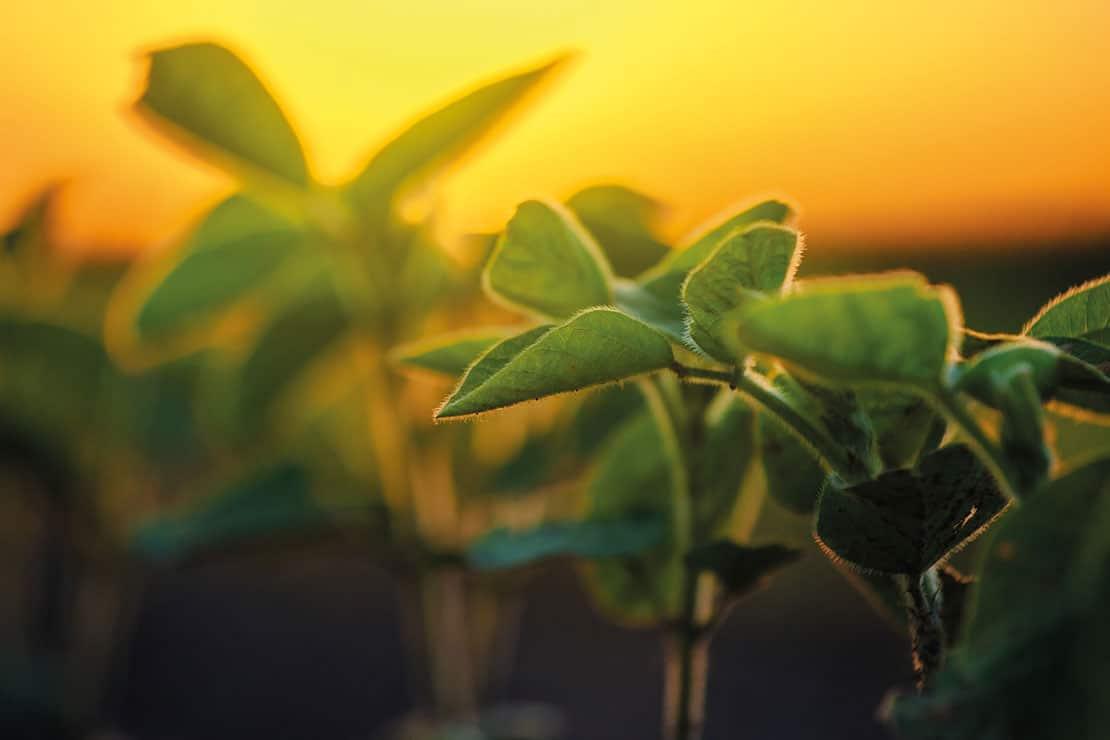 étude sur le soja : l'importance du soja